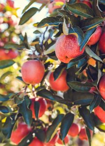 Apples for Juicing.Systems